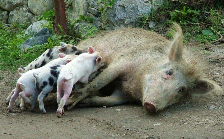 svaneti pigs